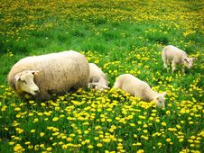 Sheeps And Lambs Royalty Free Stock Photo