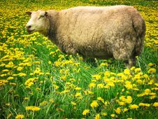Free Sheep Stock Photo - 4183700