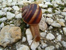 Free Snail Royalty Free Stock Images - 4183959