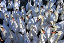 Free Swan Meeting Stock Image - 4184201