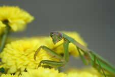 Free Praying Mantis On Mums Stock Photos - 4184613