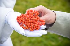 Free A Bunch Of Ashberry In The Hands Royalty Free Stock Images - 4185439