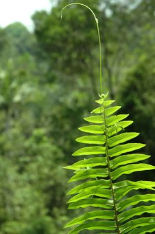 Free Fern Fronds Royalty Free Stock Photography - 4185807