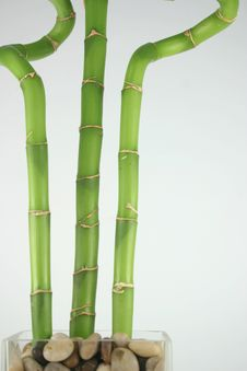 Free Lucky Bamboo Stock Photography - 4187282