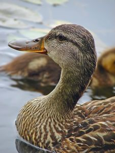 Free Coseup Of A Duck Stock Photos - 4187593