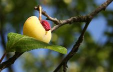 Free The Ugly Plum Stock Photo - 4188270