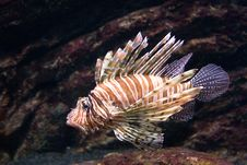 Free Lion Fish Stock Photo - 4189040