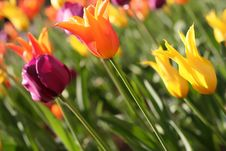 Free Garden Of Tulips Stock Photography - 4189502