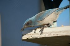 Free Woodhouse S Scrub Jay Royalty Free Stock Image - 4189506