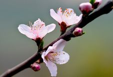Free Peach Blossom & Sunshine Stock Photos - 4189773