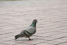 Free Pigeon Staring Royalty Free Stock Image - 4189866