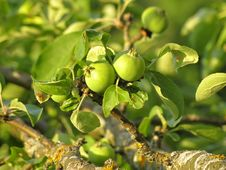 Free Little Apples On Sunset Royalty Free Stock Photos - 41851038