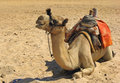 Free Camel Stock Photography - 4193632