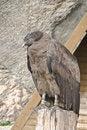 Free Andes Condor Royalty Free Stock Photos - 4193638