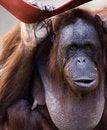 Free The Orangutan Royalty Free Stock Photography - 4195707