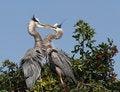 Free Blue Herons Stock Photos - 4196253