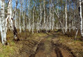 Free Birch Forest In Kamchatka Royalty Free Stock Image - 4198156