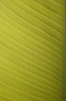 Free Sunlit Banana Leaf Royalty Free Stock Images - 4190399