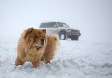 Free Chow-chow And 4wheel Car Stock Photos - 4191383