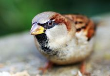 Free House Sparrow Stock Photography - 4191992
