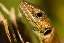 Free Lizard Royalty Free Stock Image - 4192386