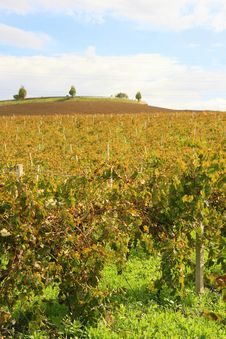 Free Yellow Autumn Vineyards Stock Image - 4192431