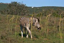 Smiling African Zebra In Savanna Royalty Free Stock Image