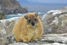 African Rock Hyrax - Dassie, Like Hamster Royalty Free Stock Photography