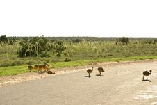 Little Ostrich Chickens Crossing Safari Road Royalty Free Stock Images