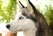 Free Staring Husky Royalty Free Stock Photo - 4195025