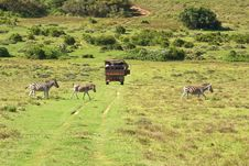 Zebra Family Crossing Road Behind Safari Truck Royalty Free Stock Images