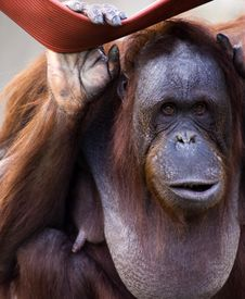 Free The Orangutan Royalty Free Stock Photography - 4195707