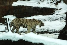 Free White Tiger Stock Photography - 4195972