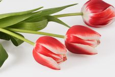 Free Three Tulips Royalty Free Stock Photo - 4196245