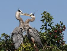 Free Blue Herons Stock Photos - 4196253