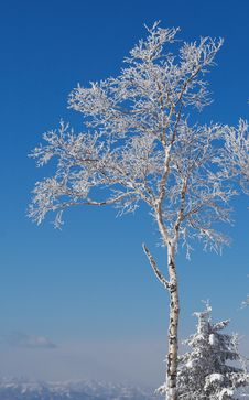Frosty Tree Stock Image