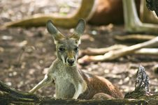 Free Joey Kangaroo Royalty Free Stock Photos - 4197018