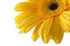 Free Yellow Gerber Stock Image - 4198451