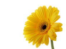 Free Yellow Gerber Stock Images - 4198454
