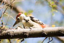 Free Woodpecker Royalty Free Stock Photo - 4198665