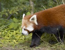 Free Red Panda Royalty Free Stock Image - 4198826