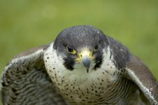 Free Falcon Stock Images - 4198914