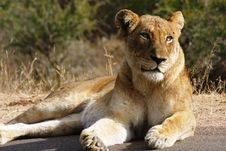 Lioness Basking In The Sun Stock Photo