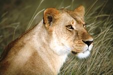 Free Lioness In The Grass Looking Over Shoulder Stock Photography - 4199192