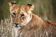 Lion Cub Lying In The Grass Stock Photos