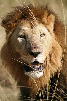 Majestic Lion Portrait In The Grass After A Kill Stock Photography