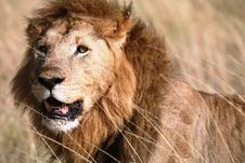 Majestic Lion Standing In The Grass After A Kill Royalty Free Stock Images