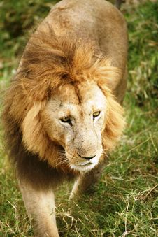 Lion Walking Through The Grass Stock Photo