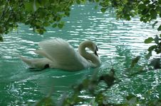 Free Cigno Royalty Free Stock Images - 4199999