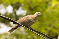 Free Dove On The Wire Stock Images - 41921954